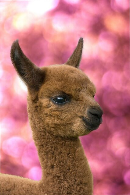 alpaca kuscheltier