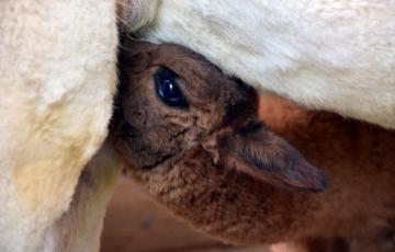 Baby Alpaka Wolle Hintergrundbild