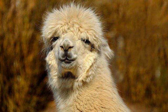 Lama Alpaka Unterschied Frisur