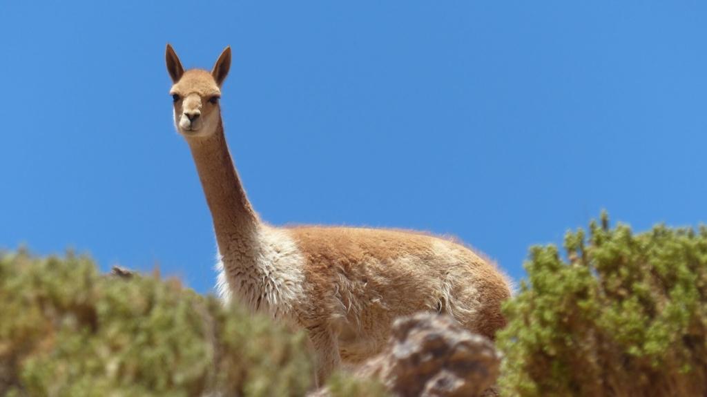 Lama Kuscheltier Hintergrund